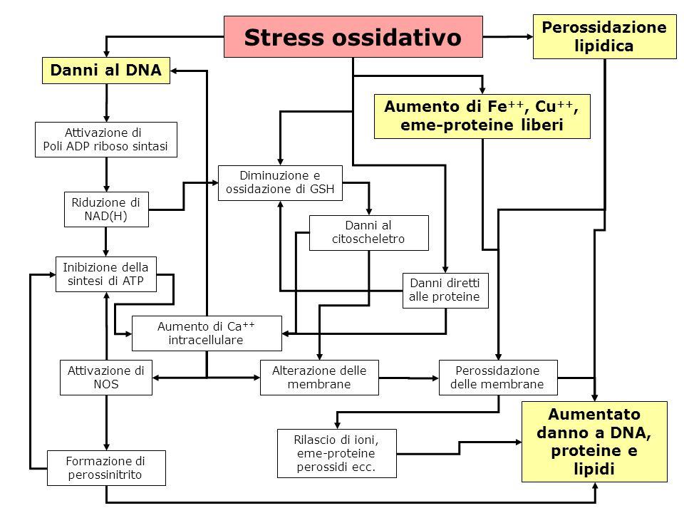 gs © 2001-2008 ver 4.1Specie radicaliche e stress ossidativo- 21 - Stress ossidativo Danni al DNA Attivazione di Poli ADP riboso sintasi Riduzione di