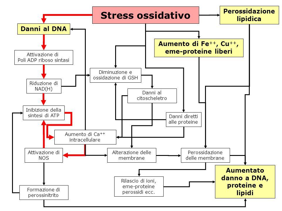 gs © 2001-2008 ver 4.1Specie radicaliche e stress ossidativo- 33 - Stress ossidativo Danni al DNA Attivazione di Poli ADP riboso sintasi Riduzione di