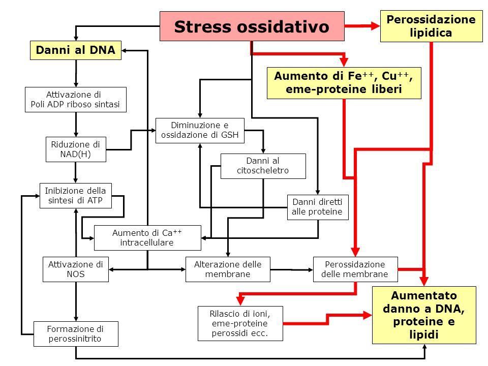 gs © 2001-2008 ver 4.1Specie radicaliche e stress ossidativo- 34 - Stress ossidativo Danni al DNA Attivazione di Poli ADP riboso sintasi Riduzione di