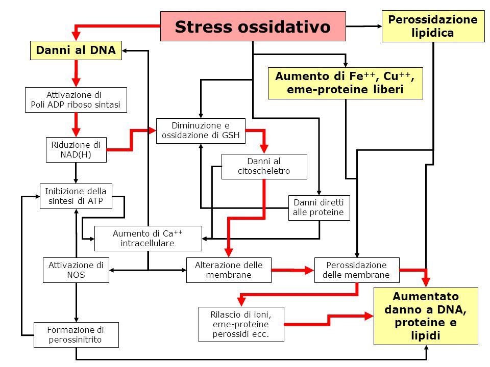 gs © 2001-2008 ver 4.1Specie radicaliche e stress ossidativo- 35 - Stress ossidativo Danni al DNA Attivazione di Poli ADP riboso sintasi Riduzione di