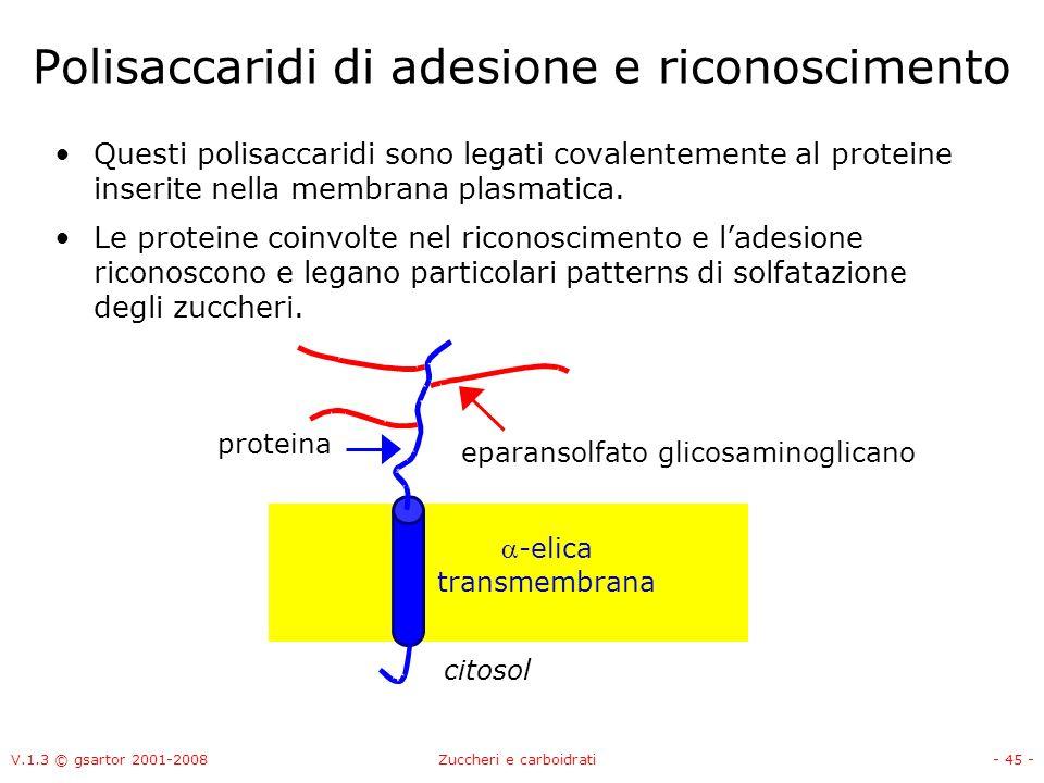 V.1.3 © gsartor 2001-2008Zuccheri e carboidrati- 46 - Glicoproteine Le glicoproteine hanno funzioni di riconoscimento e comunicazione tra cellule.