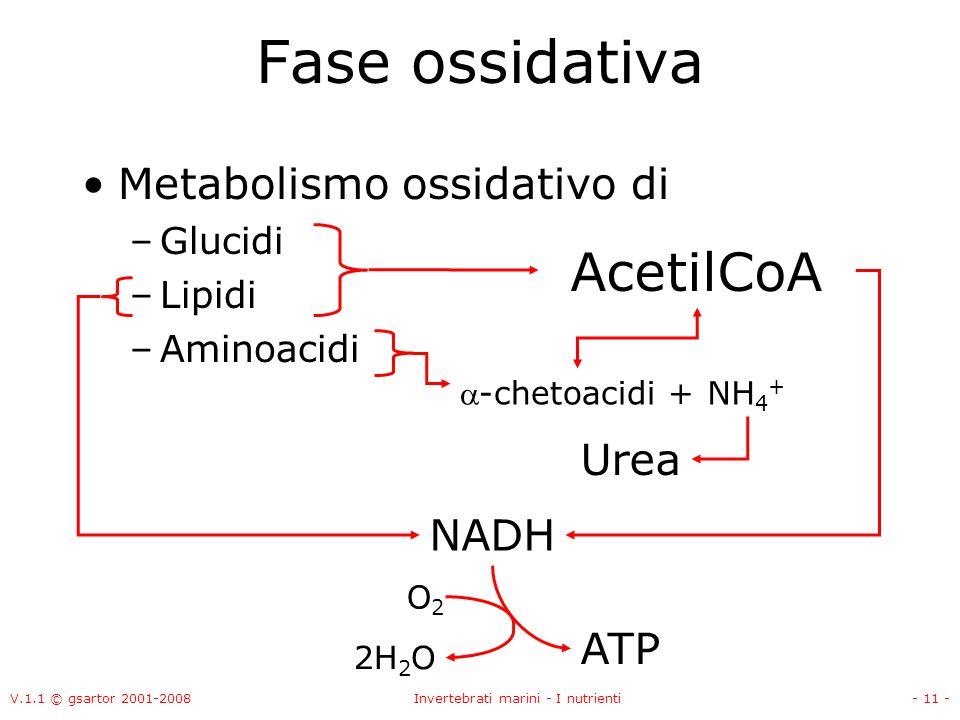 V.1.1 © gsartor 2001-2008Invertebrati marini - I nutrienti- 11 - Fase ossidativa Metabolismo ossidativo di –Glucidi –Lipidi –Aminoacidi AcetilCoA -chetoacidi + NH 4 + Urea NADH ATP O2O2 2H 2 O