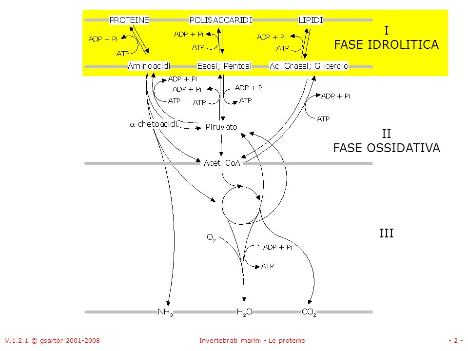 V.1.2.1 © gsartor 2001-2008Invertebrati marini - Le proteine- 3 - II FASE OSSIDATIVA I FASE IDROLITICA III Metabolismo dei glucidi