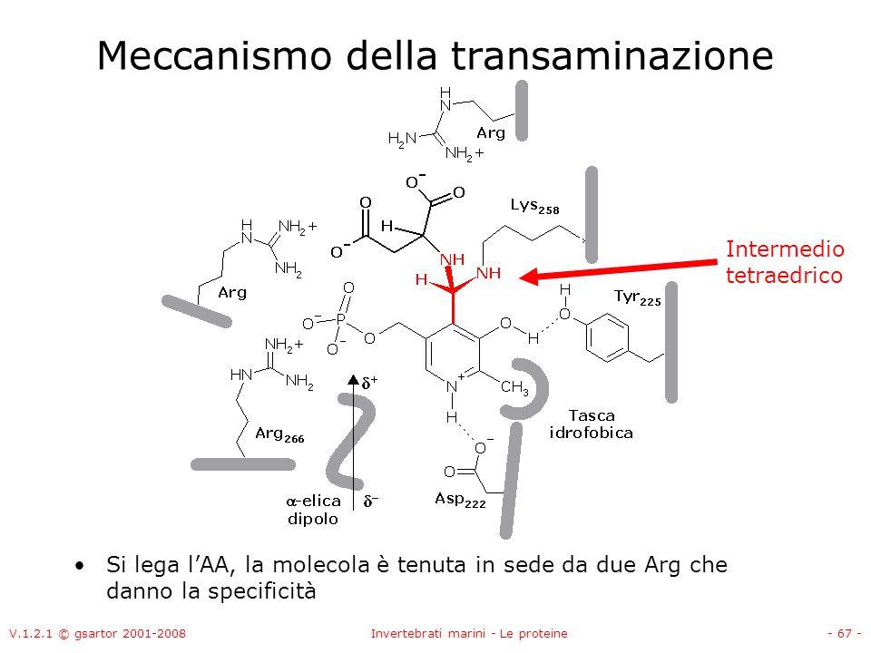 V.1.2.1 © gsartor 2001-2008Invertebrati marini - Le proteine- 67 - Meccanismo della transaminazione Si lega lAA, la molecola è tenuta in sede da due A