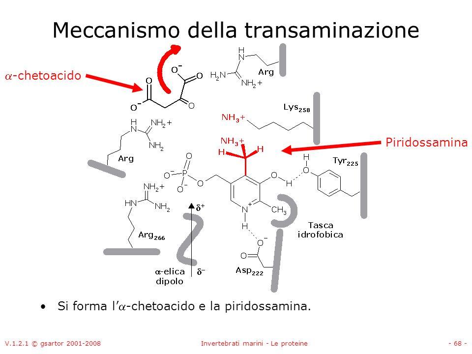 V.1.2.1 © gsartor 2001-2008Invertebrati marini - Le proteine- 68 - Meccanismo della transaminazione Si forma l-chetoacido e la piridossamina. Piridoss