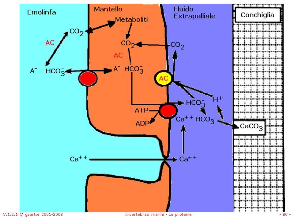 V.1.2.1 © gsartor 2001-2008Invertebrati marini - Le proteine- 80 -