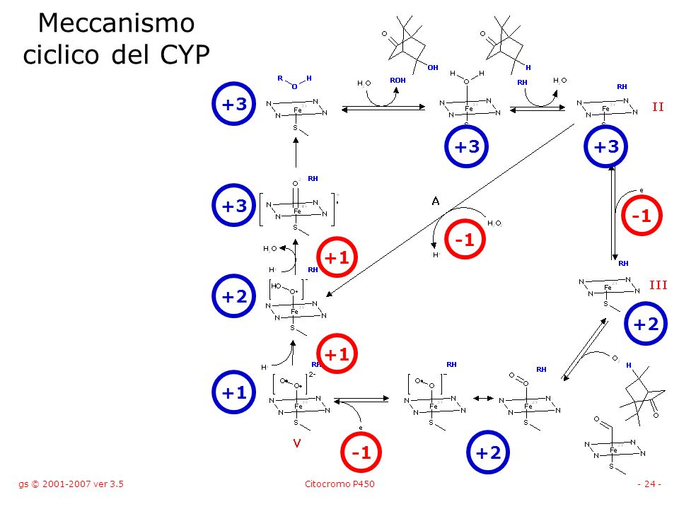 gs © 2001-2007 ver 3.5Citocromo P450- 24 - Meccanismo ciclico del CYP +3 +2 +1 +2 +3 +1 +1