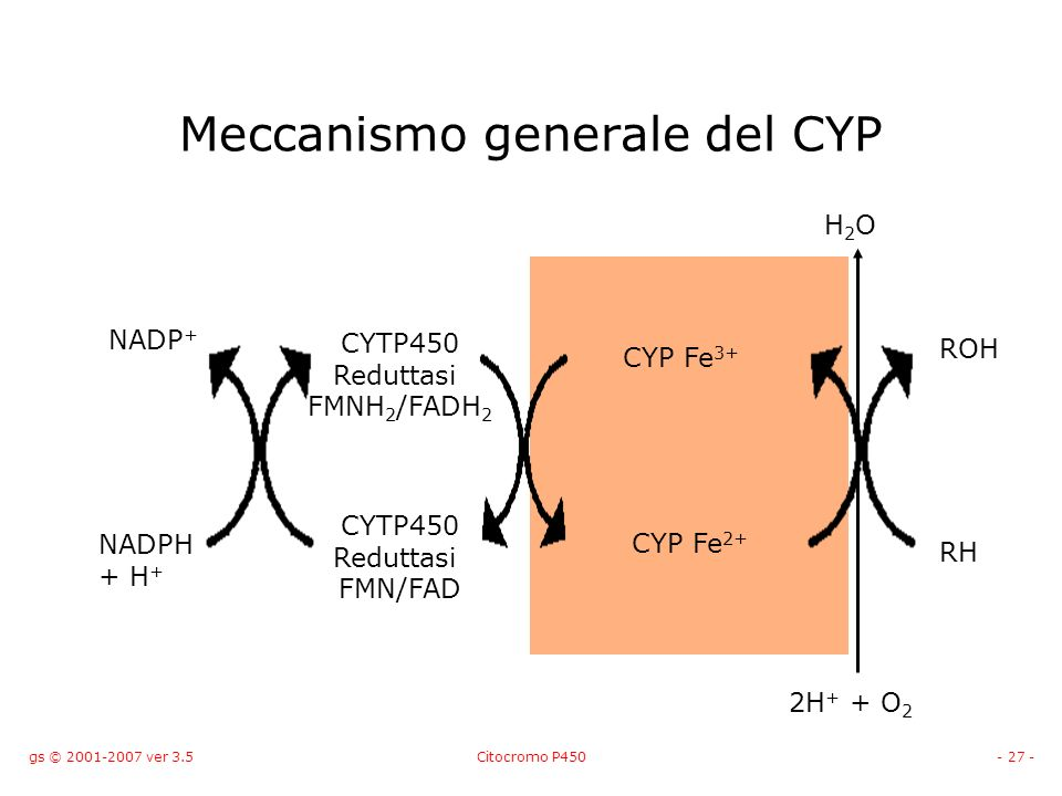 gs © 2001-2007 ver 3.5Citocromo P450- 27 - Meccanismo generale del CYP NADPH + H + NADP + CYTP450 Reduttasi FMNH 2 /FADH 2 CYTP450 Reduttasi FMN/FAD C