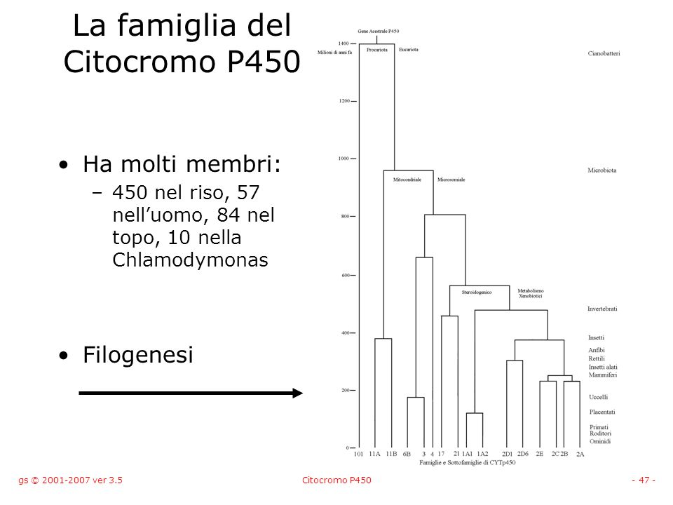 gs © 2001-2007 ver 3.5Citocromo P450- 47 - La famiglia del Citocromo P450 Ha molti membri: –450 nel riso, 57 nelluomo, 84 nel topo, 10 nella Chlamodym