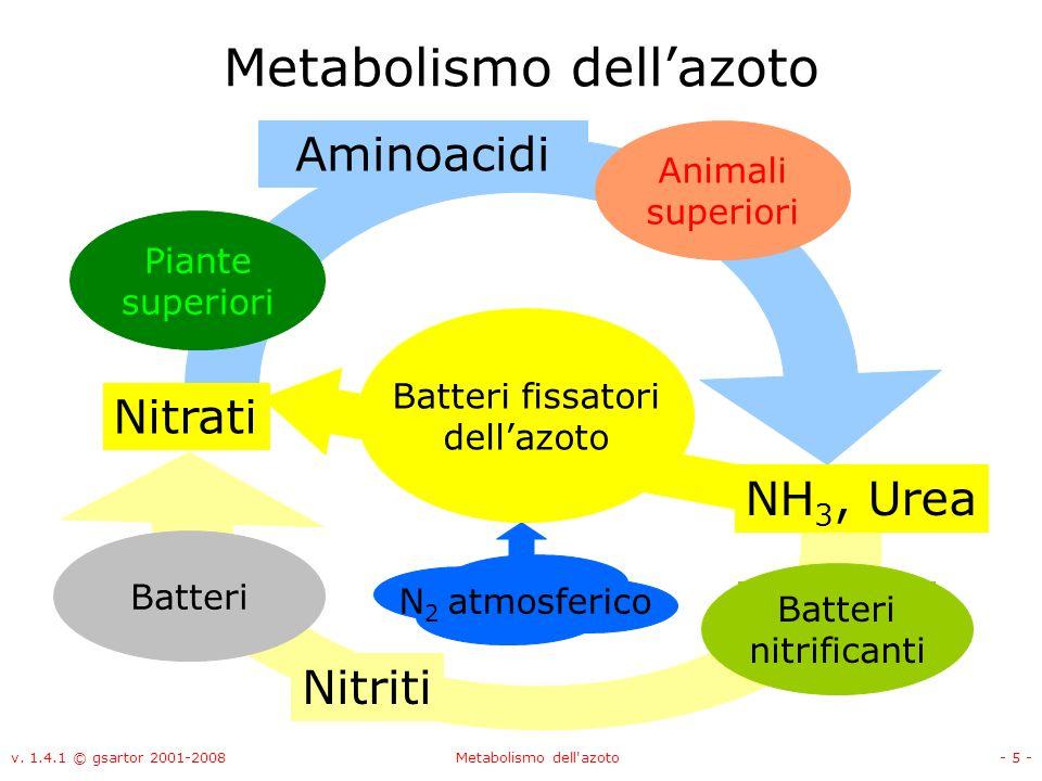 v. 1.4.1 © gsartor 2001-2008Metabolismo dell'azoto- 5 - Metabolismo dellazoto Nitrati NH 3, Urea N 2 atmosferico Batteri nitrificanti Piante superiori