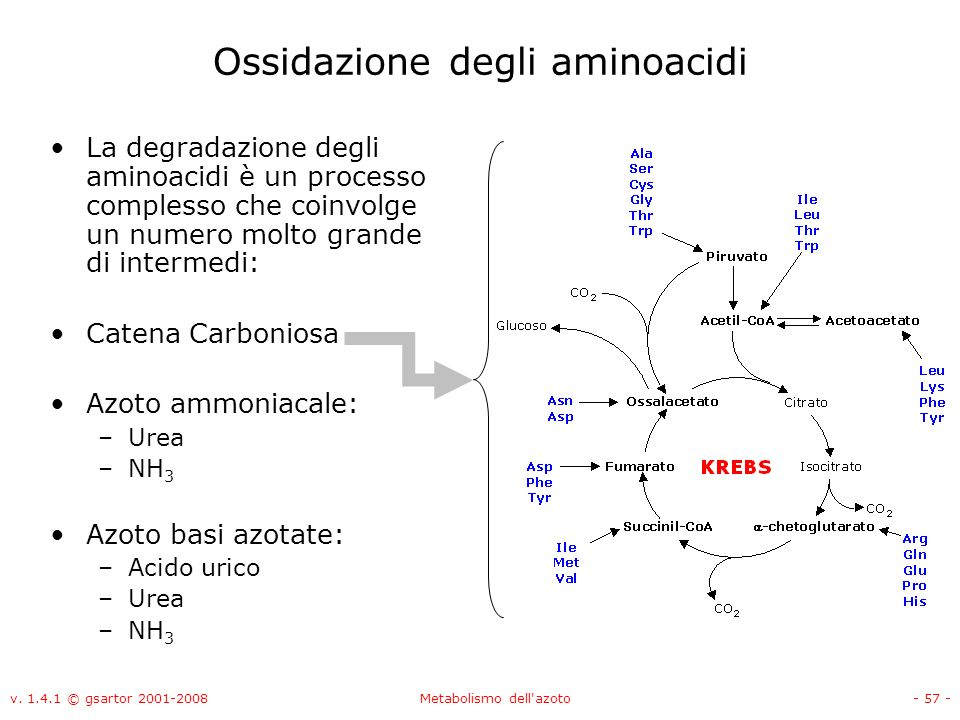 v. 1.4.1 © gsartor 2001-2008Metabolismo dell'azoto- 57 - Ossidazione degli aminoacidi La degradazione degli aminoacidi è un processo complesso che coi