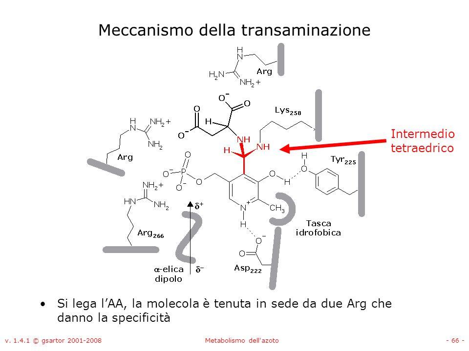 v. 1.4.1 © gsartor 2001-2008Metabolismo dell'azoto- 66 - Meccanismo della transaminazione Si lega lAA, la molecola è tenuta in sede da due Arg che dan