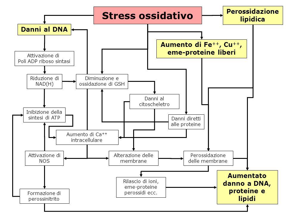 gs © 2001-2008 ver 4.1Specie radicaliche e stress ossidativo- 22 - Stress ossidativo Danni al DNA Attivazione di Poli ADP riboso sintasi Riduzione di