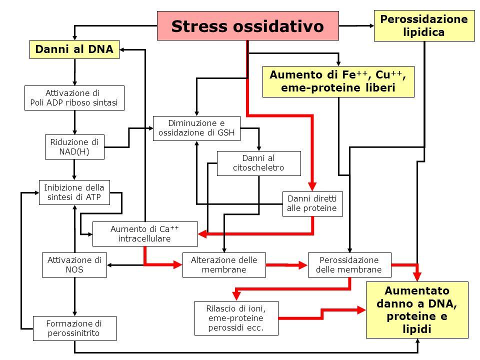 gs © 2001-2008 ver 4.1Specie radicaliche e stress ossidativo- 37 - Stress ossidativo Danni al DNA Attivazione di Poli ADP riboso sintasi Riduzione di