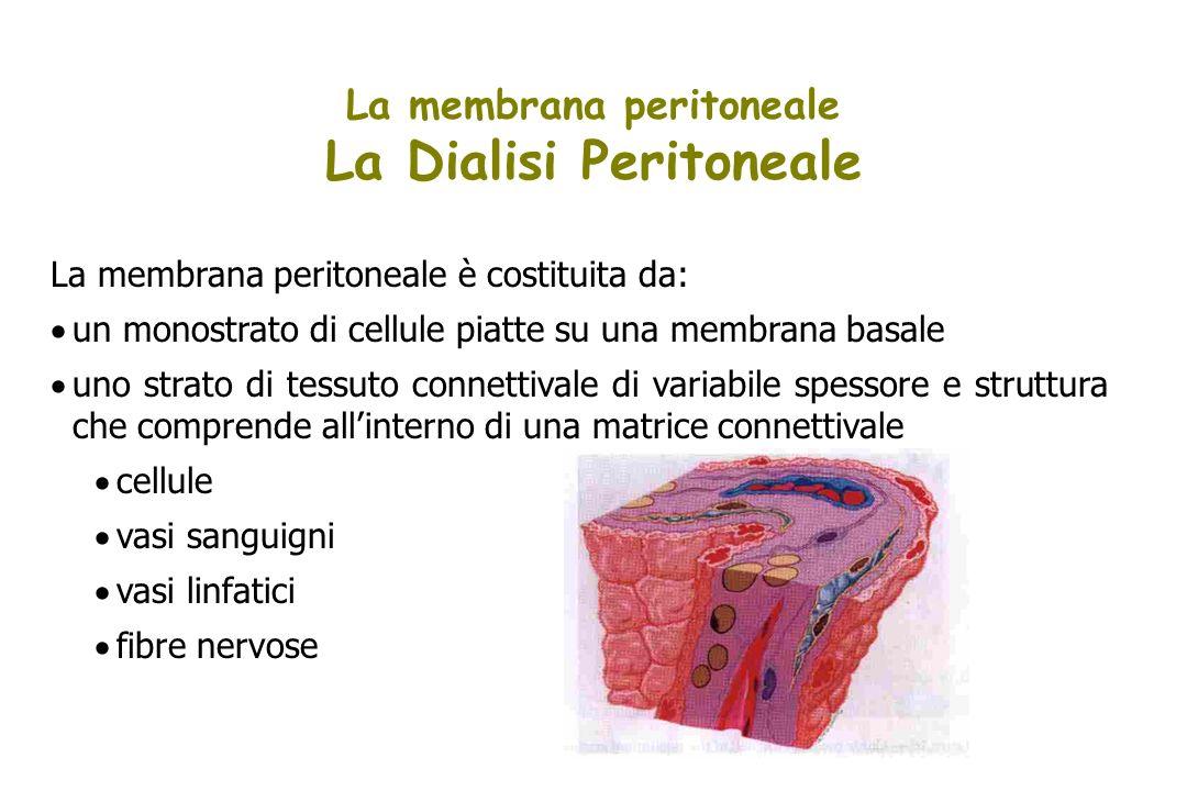 La membrana peritoneale è costituita da: un monostrato di cellule piatte su una membrana basale uno strato di tessuto connettivale di variabile spesso