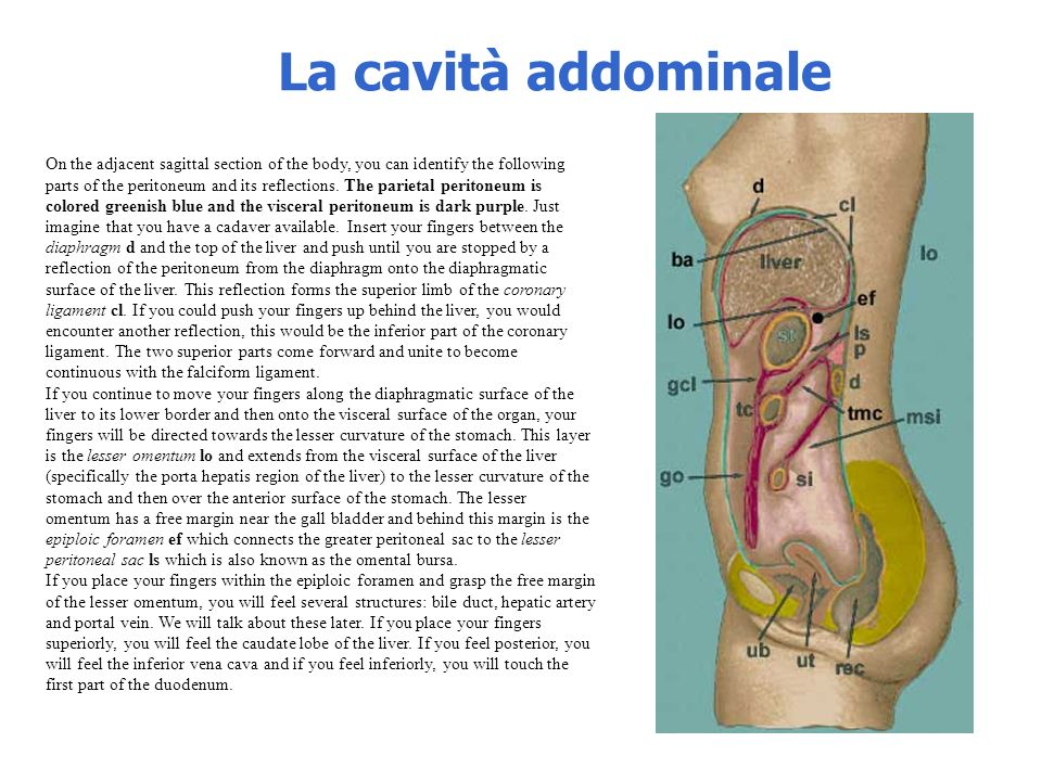La cavità addominale On the adjacent sagittal section of the body, you can identify the following parts of the peritoneum and its reflections. The par
