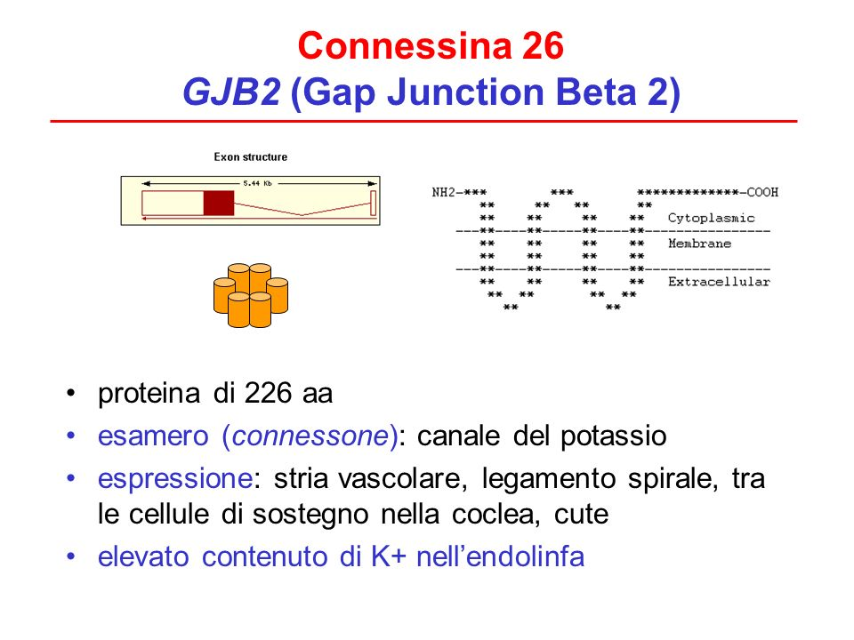 Connessina 26 GJB2 (Gap Junction Beta 2) proteina di 226 aa esamero (connessone): canale del potassio espressione: stria vascolare, legamento spirale,