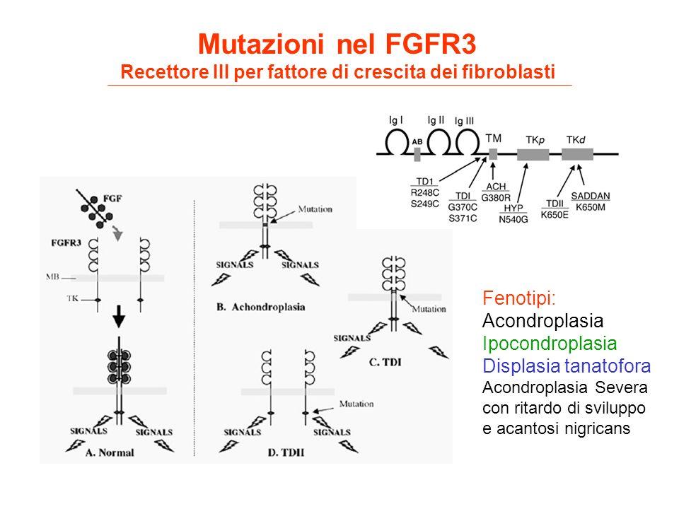 Mutazioni nel FGFR3 Recettore III per fattore di crescita dei fibroblasti Fenotipi: Acondroplasia Ipocondroplasia Displasia tanatofora Acondroplasia S