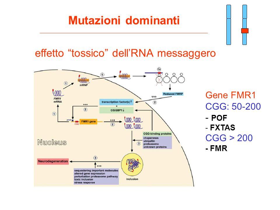 Mutazioni dominanti effetto tossico dellRNA messaggero Gene FMR1 CGG: 50-200 - POF - FXTAS CGG > 200 - FMR