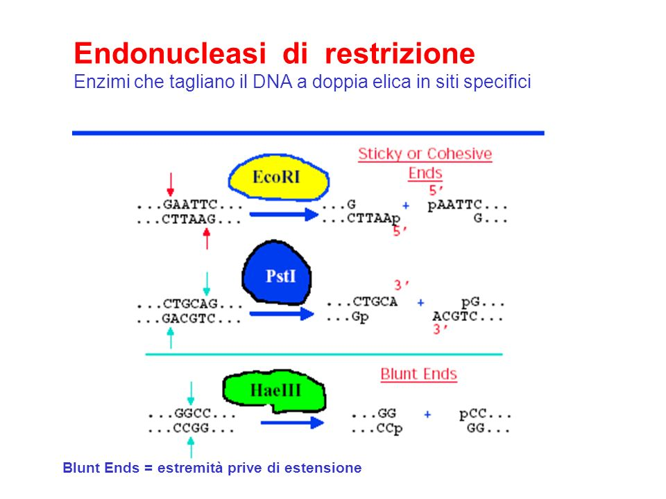Endonucleasi di restrizione Enzimi che tagliano il DNA a doppia elica in siti specifici Blunt Ends = estremità prive di estensione