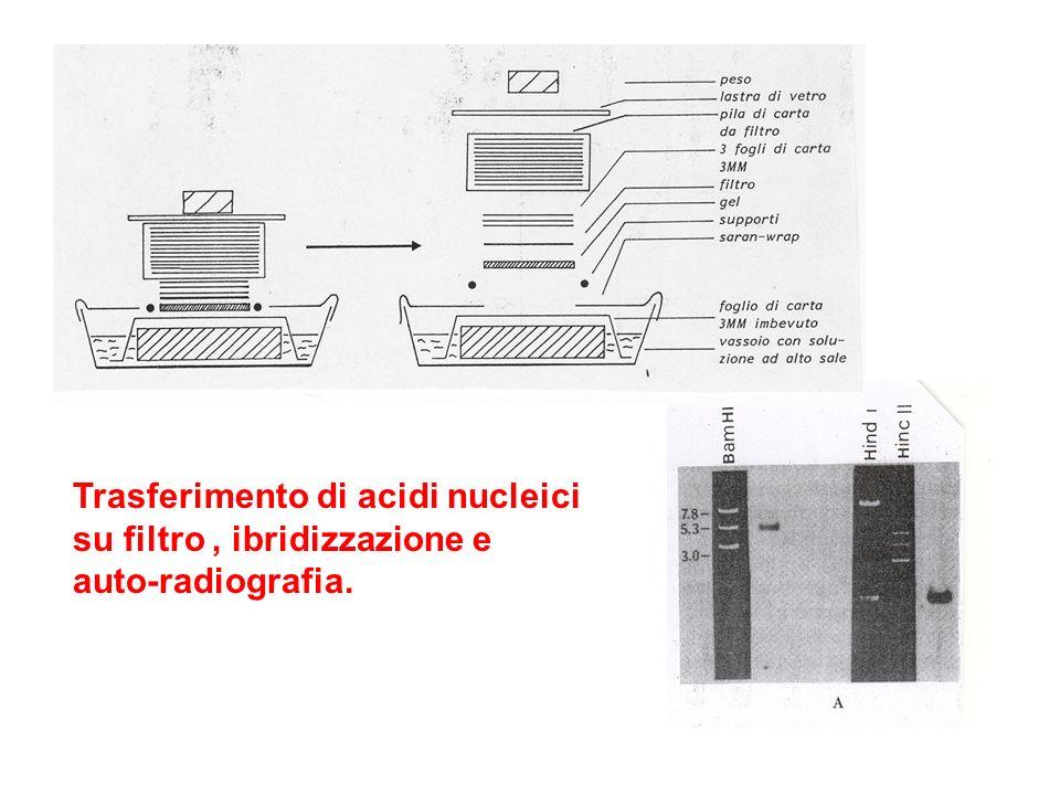 Trasferimento di acidi nucleici su filtro, ibridizzazione e auto-radiografia.