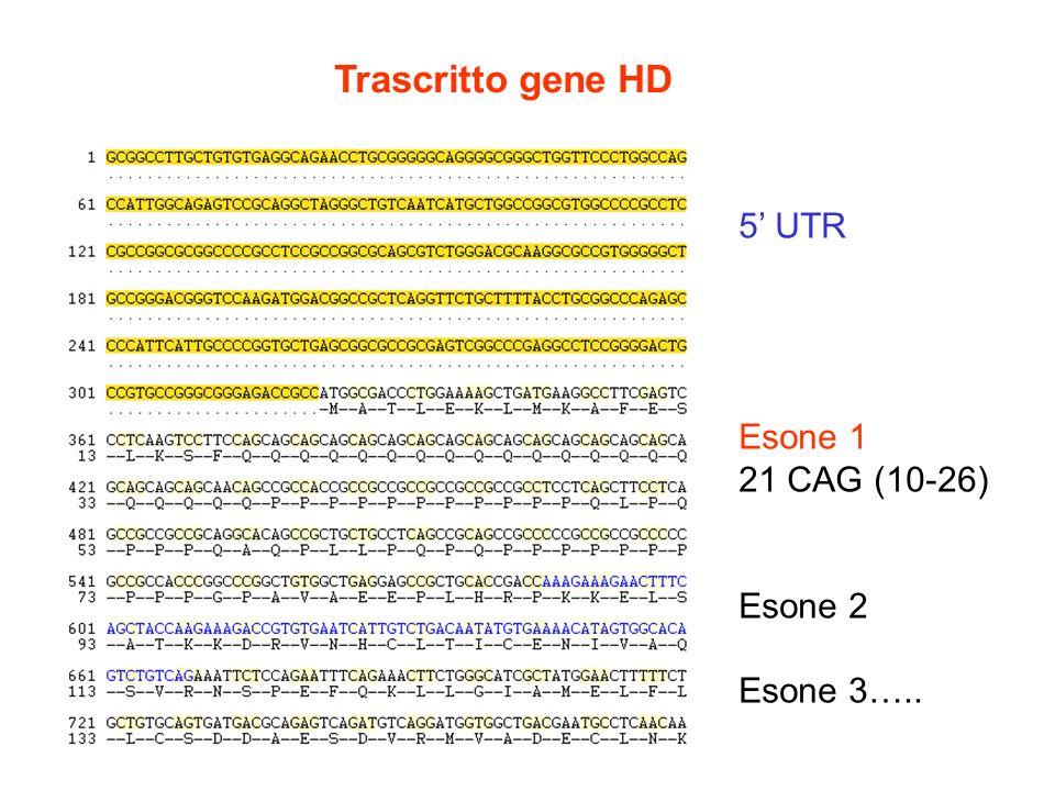 5 UTR Esone 1 21 CAG (10-26) Esone 2 Esone 3….. Trascritto gene HD