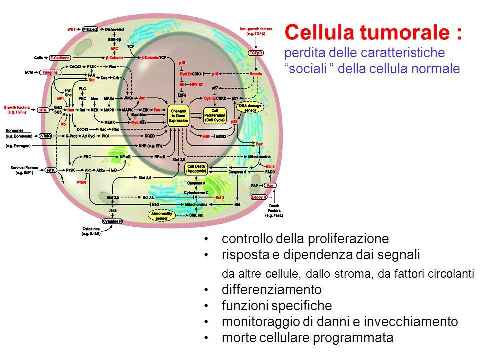 Cellula tumorale : perdita delle caratteristiche sociali della cellula normale controllo della proliferazione risposta e dipendenza dai segnali da alt