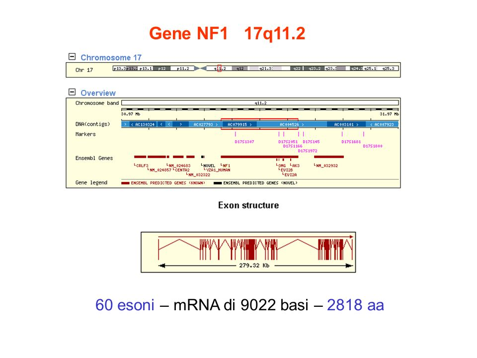 Gene NF1 17q11.2 60 esoni – mRNA di 9022 basi – 2818 aa