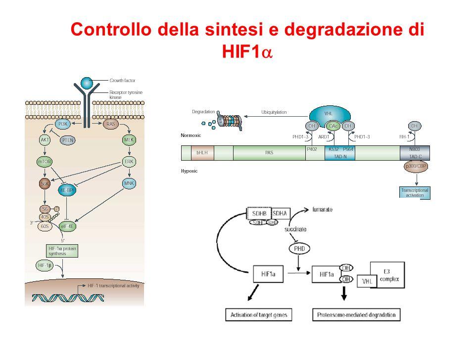 Controllo della sintesi e degradazione di HIF1