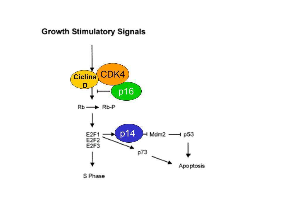 p16p14 CDK4 Ciclina D