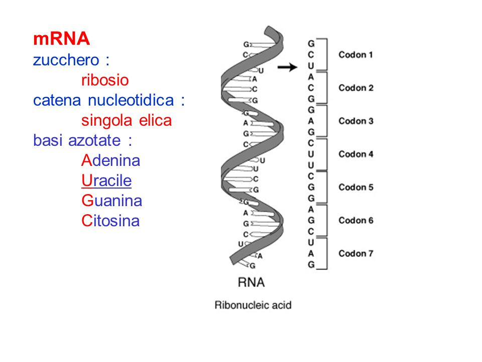 mRNA zucchero : ribosio catena nucleotidica : singola elica basi azotate : Adenina Uracile Guanina Citosina