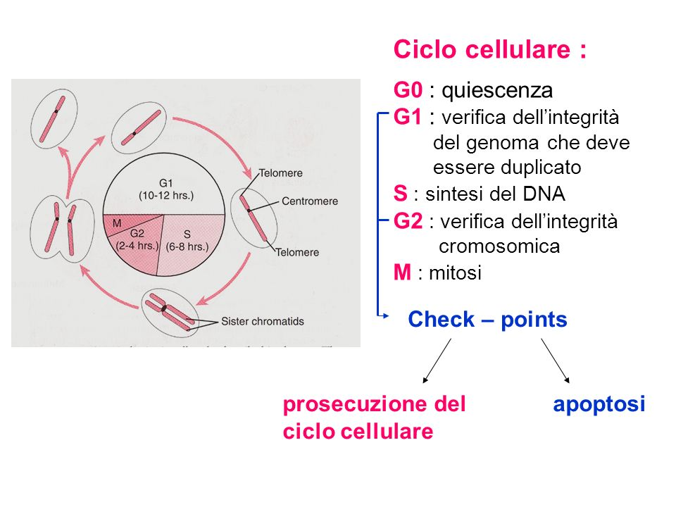 Ciclo cellulare : G0 : quiescenza G1 : verifica dellintegrità del genoma che deve essere duplicato S : sintesi del DNA G2 : verifica dellintegrità cro