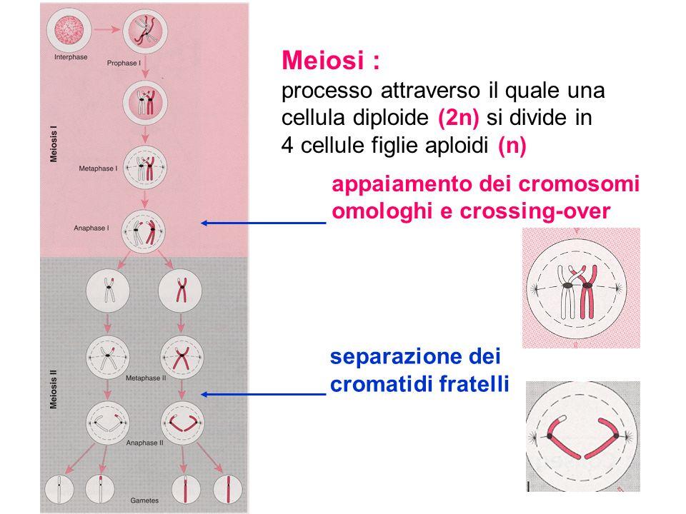 Meiosi : processo attraverso il quale una cellula diploide (2n) si divide in 4 cellule figlie aploidi (n) separazione dei cromatidi fratelli appaiamen