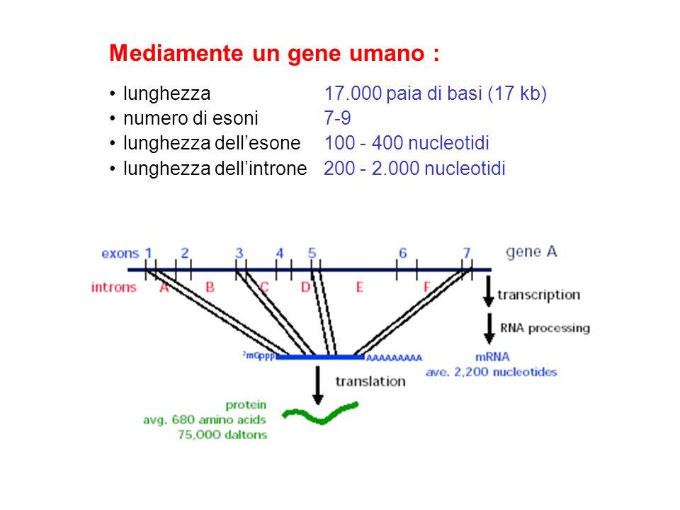 Mediamente un gene umano : lunghezza 17.000 paia di basi (17 kb) numero di esoni 7-9 lunghezza dellesone 100 - 400 nucleotidi lunghezza dellintrone 20