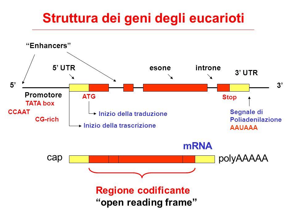 Struttura dei geni degli eucarioti 5 3 Promotore 5 UTR esone introne 3 UTR ATG Inizio della traduzione Inizio della trascrizione Stop Segnale di Polia