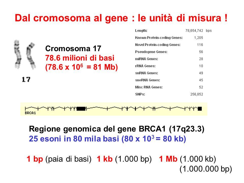 Dal cromosoma al gene : le unità di misura ! Cromosoma 17 78.6 milioni di basi (78.6 x 10 6 = 81 Mb) Regione genomica del gene BRCA1 (17q23.3) 25 eson