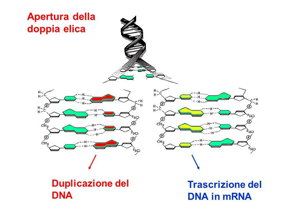 Apertura della doppia elica Duplicazione del DNA Trascrizione del DNA in mRNA