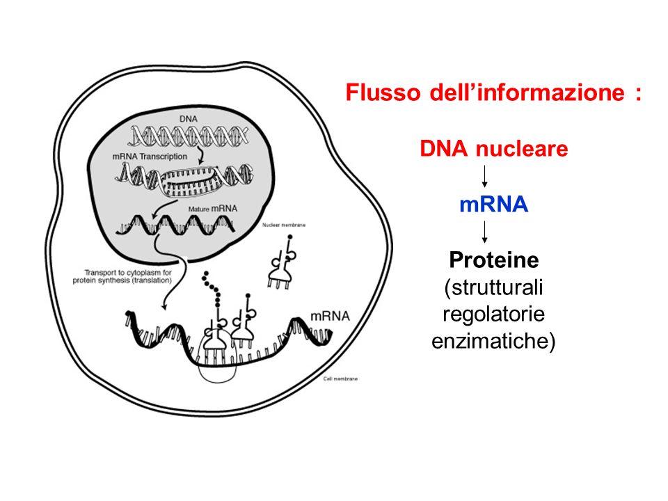 Flusso dellinformazione : DNA nucleare mRNA Proteine (strutturali regolatorie enzimatiche)