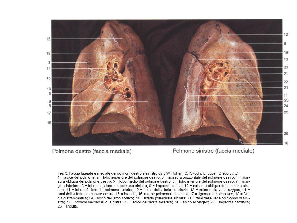I fase diagnostica Lesame Rx torace in duplice proiezione rappresenta lindagine di primo livello che fa da guida al successivo iter diagnostico.