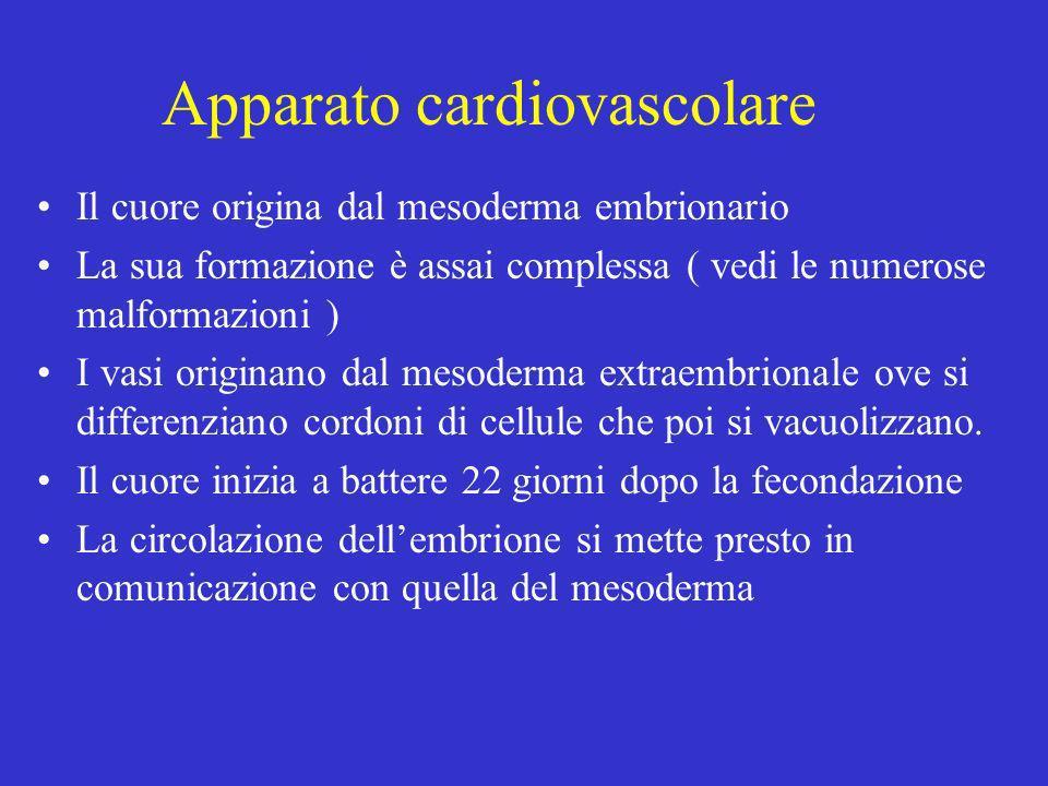 Apparato cardiovascolare Il cuore origina dal mesoderma embrionario La sua formazione è assai complessa ( vedi le numerose malformazioni ) I vasi orig