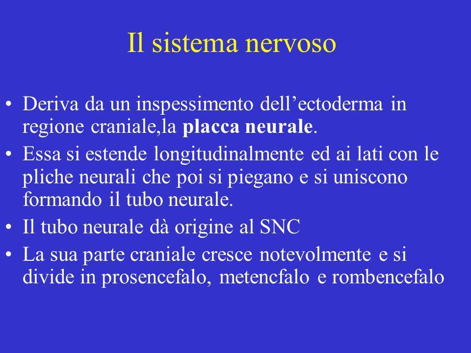Il sistema nervoso Deriva da un inspessimento dellectoderma in regione craniale,la placca neurale. Essa si estende longitudinalmente ed ai lati con le