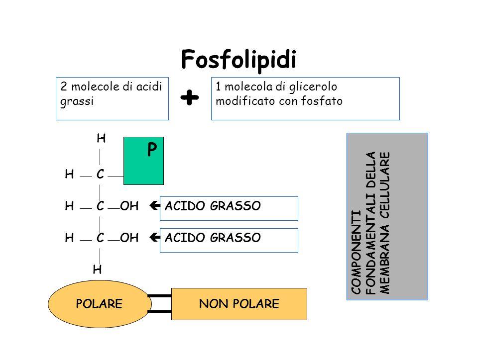 Fosfolipidi 2 molecole di acidi grassi + 1 molecola di glicerolo modificato con fosfato C C C H H HOH H H P ACIDO GRASSO ACIDO GRASSO POLARE NON POLAR