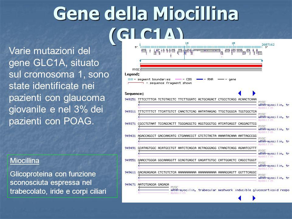 Gene della Miocillina (GLC1A) Varie mutazioni del gene GLC1A, situato sul cromosoma 1, sono state identificate nei pazienti con glaucoma giovanile e n
