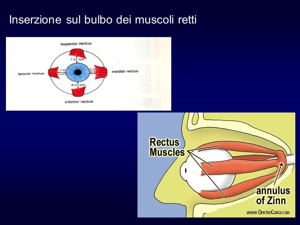 Inserzione sul bulbo dei muscoli retti