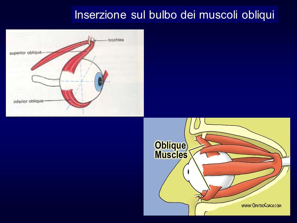 Inserzione sul bulbo dei muscoli obliqui