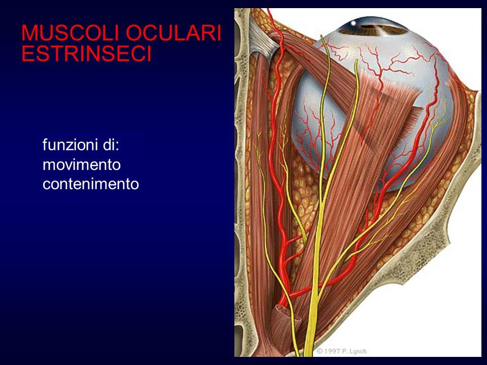 MUSCOLI OCULARI ESTRINSECI retto mediale (III nc) adduttore Decorre tra il globo oculare e la parete mediale dellorbita; raggiunge la sclera con un tendine relativamente corto che si inserisce in media a 5.5 mm dal limbus.