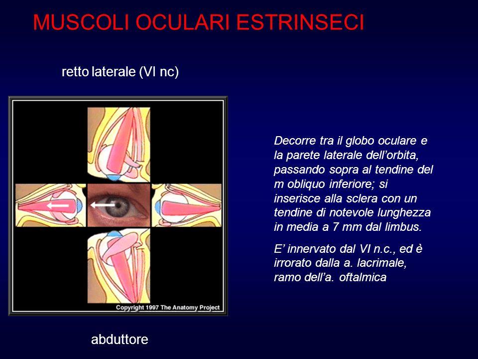 MUSCOLI OCULARI ESTRINSECI retto laterale (VI nc) abduttore Decorre tra il globo oculare e la parete laterale dellorbita, passando sopra al tendine de
