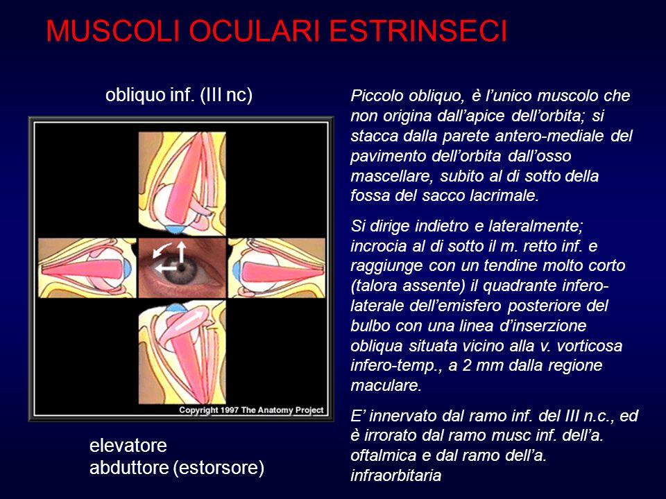 MUSCOLI OCULARI ESTRINSECI obliquo inf. (III nc) elevatore abduttore (estorsore) Piccolo obliquo, è lunico muscolo che non origina dallapice dellorbit