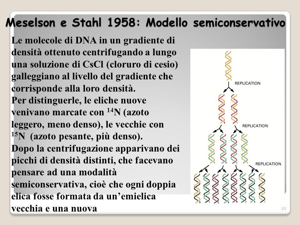 Meselson e Stahl 1958: Modello semiconservativo 10 Le molecole di DNA in un gradiente di densità ottenuto centrifugando a lungo una soluzione di CsCl