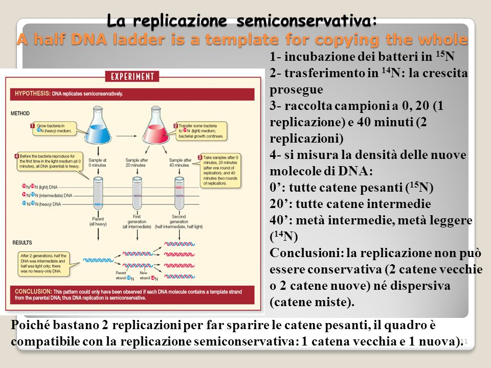 La replicazione semiconservativa: A half DNA ladder is a template for copying the whole 11 1- incubazione dei batteri in 15 N 2- trasferimento in 14 N